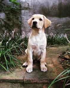 Labrador Retriever Pup ~ Classic Look #labradorretriever #DogsBreed