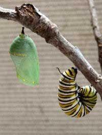 Como criar uma lagarta até virar borboleta? | Diário de Biologia