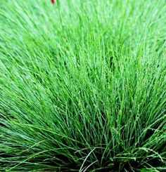 Festuca x 'Cool As Ice'