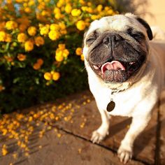 Easy To Groom  Some breeds are brush-and-go dogs; others require regular bathing clipping and other grooming just to stay clean and healthy. Consider whether you have the time and patience for a dog that needs a lot of grooming or the money to pay someone else to do it. #dogs #pugs