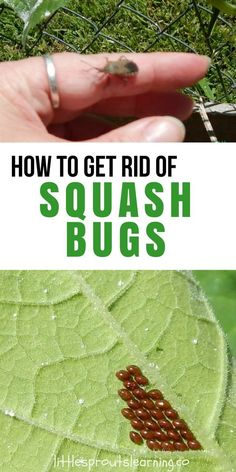 I really really really really hate squash bugs! They are the bane of my existence. Wescarcely ever even get a single squash from a single plant in our garden. If there was a way to remove those suckers from the face of the earth, I sure would do it. They are disgusting! Boo!