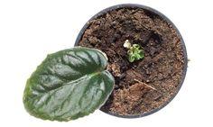 Hay ciertas plantas que las podemos reproducir por esquejes de hoja y en este vídeo os explicamos cómo reproducirlas de esta manera.