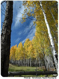 Autumn Aspens, Mogollon Rim, Arizona.  (Photo by Tim Brossart, Payson Roundup)