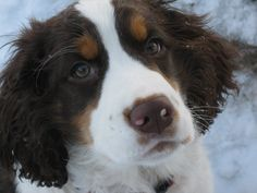 Tri Color Springer Spaniel Puppies