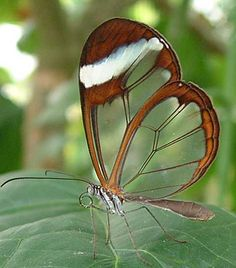 Glasswinged Butterfly (Greta otao) is a brush-footed butterfly found in Central and South America via rensecom: Larvae feed on plants of  the genus Cestrum, which contain toxic alkaloids, storing the toxins in their tissues and making them unpalatable to predators. http://tinyurl.com/yc355ul  #Butterfly #Glasswinged_Butterfly #Neurophilosophy_wordpress