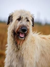 Image result for irish wolfhound