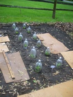 recycle old soda/water bottles to protect you growing veggie seedlings.