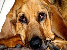 Killer Attack Mode!!! Basset Hound, Humor, Pets, Animals, Animals And Pets, Animales, Humour, Animaux, Moon Moon