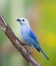 Blue-grey Tanager | Flickr - Photo Sharing!