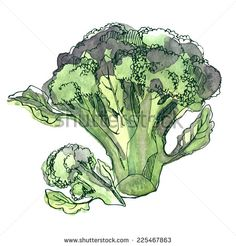 Watercolor broccoli, vector illustration with vegetables painted in watercolor…