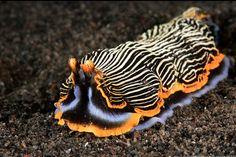 Nudibranch - Armina