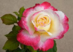 Soft Impressions of a Bi-Color Rose by Mary Sedivy.