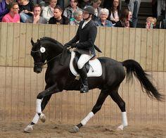Zonyx  2007 Arabian stallion (Enzo x Balihs Treasure, CG Balih El Jamaal) accepted by Danish Warmblood Registry.