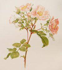 """Rosa damascena Miller  """"Damask Rose"""""""