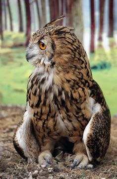 Eagles are known to come from the roots of the Accipitridae family. About 60 types of eagles are there which were originated from the subordinates of the Buteoninae and the Circaetinae Beautiful Owl, Animals Beautiful, Cute Animals, Owl Photos, Owl Pictures, Owl Bird, Pet Birds, Great Horned Owl, Tier Fotos