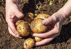 Как правильно отобрать картофель на семена?