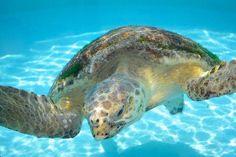 Meeresschildkröten in Neuseeland (Cheloniidae)