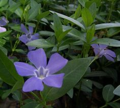 Periwinkle - great ground cover plant in shaded areas