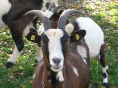 Uma cabra, doce sim Ricardo?