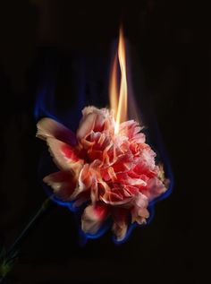 Mat Collishaw : Burning Flowers Effigy, x I love the way he uses dark background with his photography because it emphasizes the vibrancy of the colours. It also makes the fire stand out and capture this image to make a disturbing topic beautiful. Fire Photography, Photography Themes, Flower Photography, Burning Flowers, Fire Flower, Effigy, Natural Forms, Dark Backgrounds, Aesthetic Photo