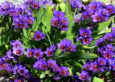 Inky purple blooms with a glowing red center make this perhaps the most striking…