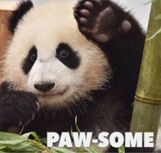 Hi || Too cute || Adorable baby panda cub meme || Smile || Daily fun || Brought out the happy || Paw-some