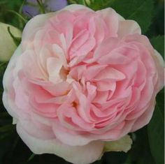 Rosa Alba ~'Cuisse de Nymphe' ~ - Also known as ' Great Maidens Blush' - Brought in France from Crimea 16th Century - Strong fragrance.