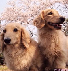 ❤️ beautiful! Someday, I would love to have one of these English Cream Dachshund, along with my other wish of having a dapple and a black and tan, all along with the red one I have right now! And he's the sweetest of them all! :)
