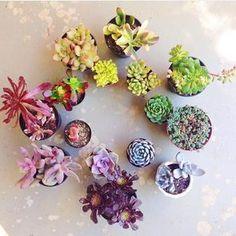 Photo credit: @aubs_succies #succulents #succulent #plant #plants #cactus #cacti #succulentcuttings #propagation #garden #indoorgarden #succulove #succulentgarden #succulentlove by _.succulents._
