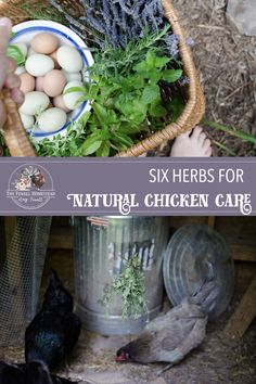 Learn about heritage chicken keeping skills in a modern world by adding this list of common and uncommon herbs to your chicken keeping routine!
