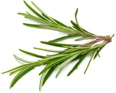 The health benefits of rosemary essential oil made it a favorite of Paracelsus, a renowned physician who made significant contribution to herbal medicine during the sixteenth century.