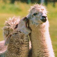 "llama's sayin: ""I ain't got no panties on"" ;)"