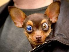 Funny dog with two color eyes..
