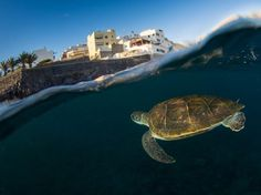 Green Sea Turtle ©National Geographic