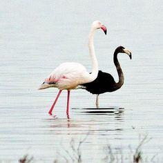 Tenerezze in bianco e nero, #fenicotteri nel lago Aktoriri, #Cipro #flamingo #love #black #white #lake #life #nature #travel #photooftheday #bestpictures Guarda su ANSA.IT le grandi foto dal mondo