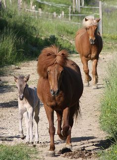 Icelandic horses...my hair on a good day!