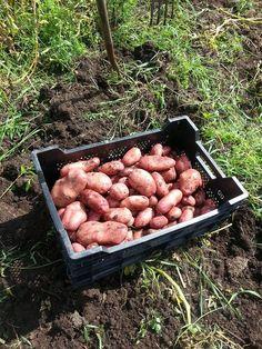 Kistje Raja van Robert Kist: een grote loskokende aardappel met een lange kiemrust, niet gevoelig voor phytophora.