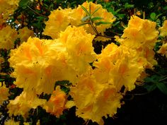 https://flic.kr/p/DJjAu6   Rhododendron   www.youtube.com/user/yewmchan/videos