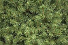 A Simple Way to Identify Conifer Trees