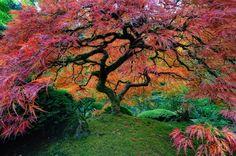 O Bordo Japonês de Portland - É conhecida pelo formato de suas folhas, e pelas suas transformações conforme as estações. O bordo japonês vai de verde vivo para amarelo, e chega ao vermelho forte pouco antes do outono.