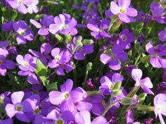 A pázsitviola (Aubrieta) gondozása - CityGreen. Flowers, Plants