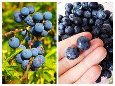 Cătina, măceșele, afinele, coacăzele negre, murele, merișoarele și porumbele constituie adevărate remedii pentru sezonul rece. Aceste fructe de pădure care cresc la noi în țară sunt foarte bogate în vitamine și antioxidanți importanți pentru sănătatea …