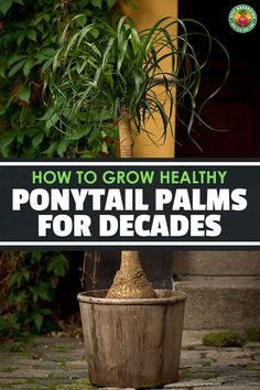 Ponytail Palm Care – How to Grow Beaucarnea Recurvata Ponytail palm care is surprisingly easy for a palm. Learn exactly how to grow beautiful beaucarnea recurvata in your home with this in-depth guide. Ponytail Plant, Ponytail Palm Care, Fresco, Pony Tail Palm, Pony Tails, Low Maintenance Garden Design, House Plant Care, Home Vegetable Garden, Palmiers