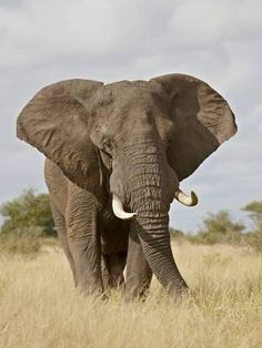 African Elephant (Loxodonta Africana), Kruger National Park, South Africa, Africa Photographic Print by James Hager | Art.com
