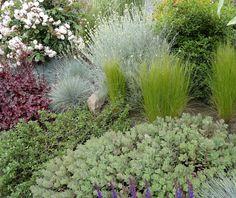 danger garden: Where the Melianthus blooms…