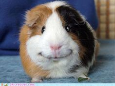 Happy guinea pig is happy.