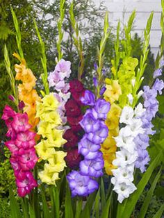 Buy gladioli bulbs Gladiolus mixed colours - Elegant spires of bright colour: 40 corms: Delivery by Crocus Spring Plants, Gladiolus Arrangements, Planting Bulbs, Plants, Birth Flowers, Bulb Flowers, Gladiolus, Flowers, Gladiolus Flower