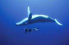 swim with the humpbacks at Kingdom of Tonga