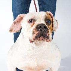 American Bulldog dog for Adoption in St. Louis Park, MN. ADN-590243 on PuppyFinder.com Gender: Female. Age: Adult