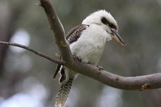 Laughing Kookaburra (Dacelo novaeguineae) Adult